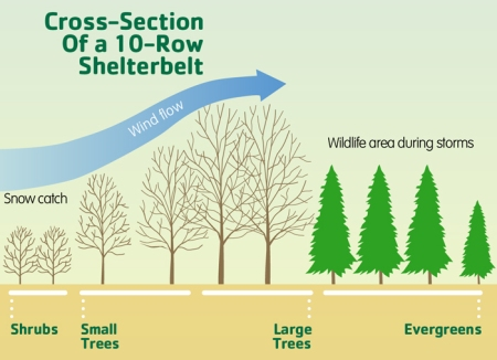 10-row-shelterbelt-cross-section