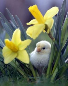 Baby chick hides among yellow daffodils
