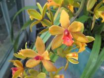Cymbidium 'Hearts of Gold' orchid in bloom at the U.S. Botanic Garden