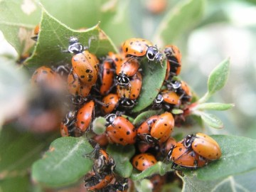 Lady bugs clustered on an oak branch