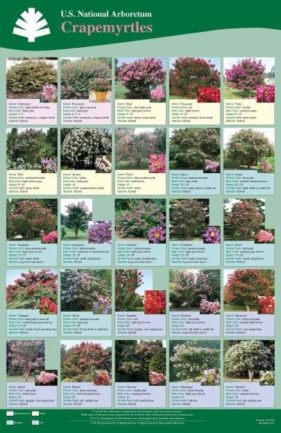 U.S. National Arboretum Crape Myrtles Guide