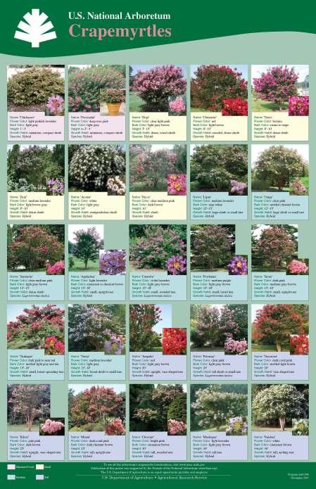 U.S. National Arboretum Crape Myrtles Guide