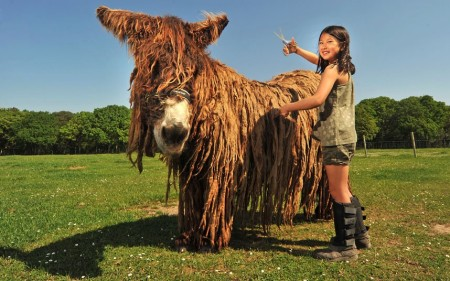 French Poitou donkey has dreadlocks that need a haircut