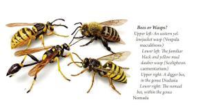 beesorwasps