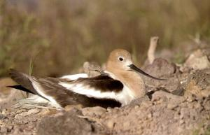 American avocet with chick (excerpt from publication).