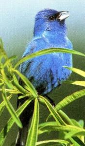 Indigo Bunting (excerpt from publication)