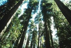 Redwood Trees looking up Source: www.nps.gov